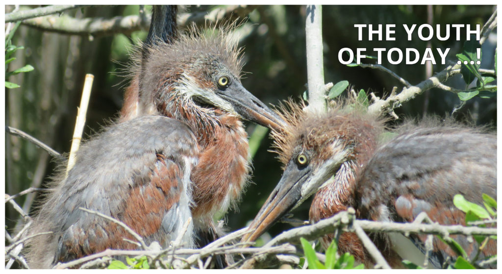 COMPRESS.dsl: The youth of today - Image of Grey heron chicks in a nest