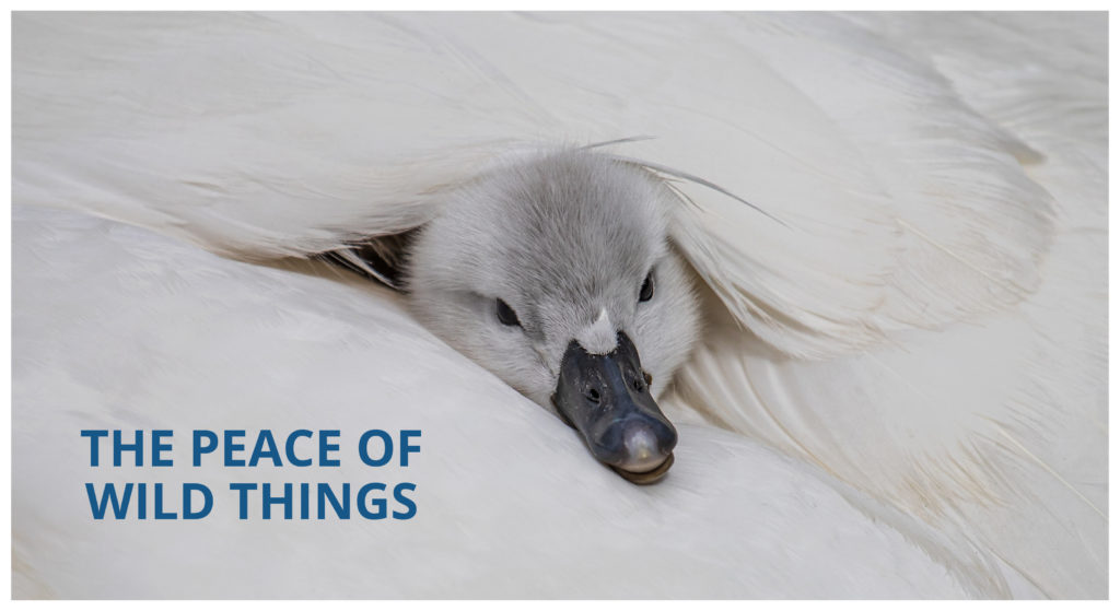 COMPRESS.dsl Newletter 14 Cover: The peace of wild things _Signet nested within moms wings